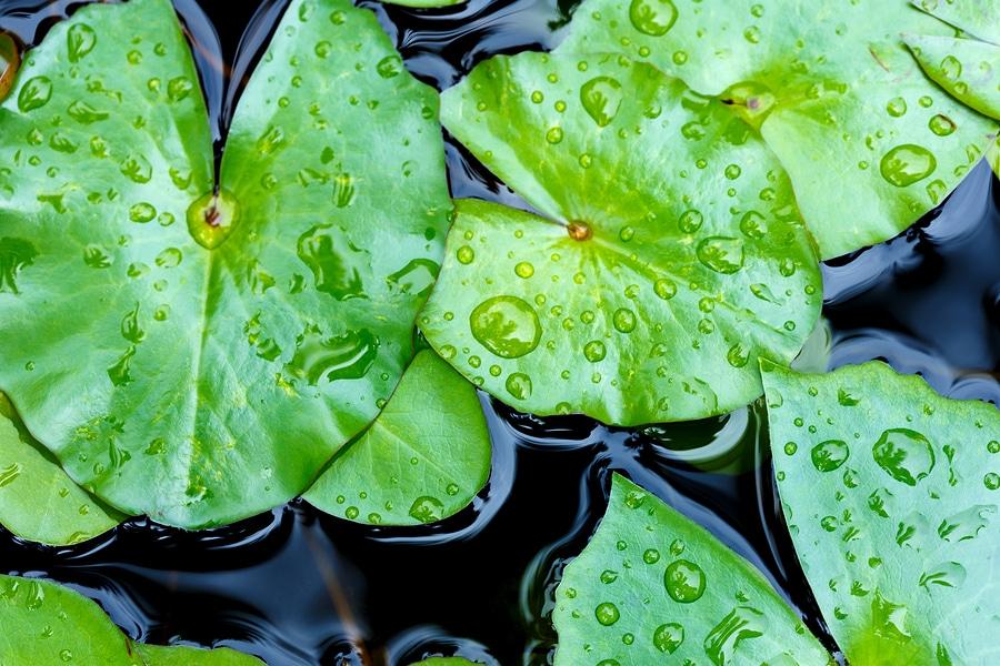Abgeschaut von der Natur: Der absperlende Effekt ist einer der Klassiker der Bionik. Vorbild war die Lotosblume - Von der Entdeckung der besonderen Eigenschaften bis zur praktischen Anwendeung vergingen jedoch Jahrzehnte. Die Perfektion der Natur kann man halt nicht so ohne weiteres kopieren. Doch heutzutage gibt es zahlreiche Anwendungsbereiche. Foto: wittybear / Bigstock